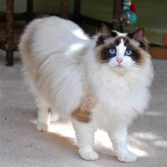 Ragdoll Cats | Ragdoll Cat Breed - Cat Pictures & Information
