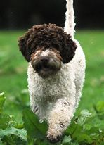 Maybe a lagotto romagnolo for our next dog...when it's time....