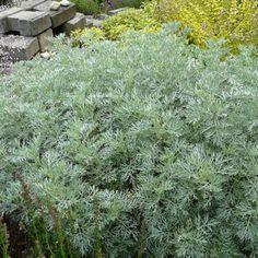 Beautiful Artemisia arborescens uPowis Castle u Silber Strauch Wermut