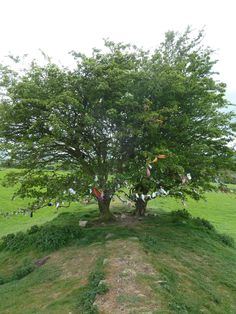 Wish trees at the Hill of Tara, Ireland