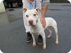 01/17/16-Rome, GA - Labrador Retriever/Bulldog Mix. Meet 16D-0047 (1/14), a dog for adoption. http://www.adoptapet.com/pet/14729447-rome-georgia-labrador-retriever-mix