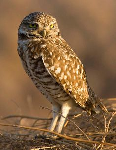 Burrowing owl  At Cottonwood Canyon State Park in Oregon