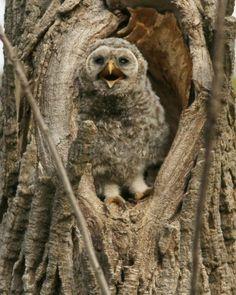 }{  Juvenile barred owl