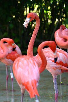 Flamingos - X-caret, eco-archeological park near Playa del Carmen, Mexico