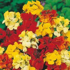 Wallflower Dwarf Bedding Mixed Seeds - Irish Plants Direct