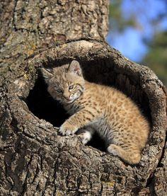 Bobcat,