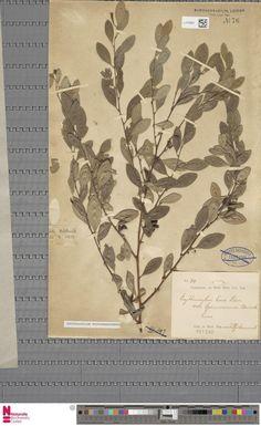 L.2120952 | Erythroxylum novogranatense (Morris) Hieron.