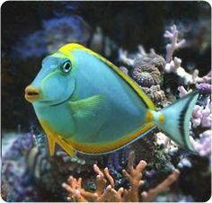 Aqua & Yellow Fish
