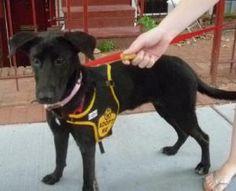 Izzy: Black Labrador Retriever, Dog; Washington, DC
