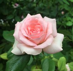 'Guy de Maupassant ' Rose Photo