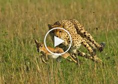 The footage shows the National Geographic Cheetah World's Fastest Hunt | Large Line. The antelope is a deer-like mammal found in Africa, Asia and parts of