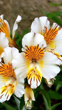 //Alstroemeria flowers..last forever in water if treated right #nature #garden #flowers