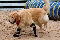 4. Ce petit yorkshire et sa prothèse à roue, et ce golden retriever à prothèses