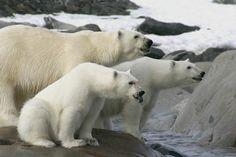 Mammifères 2: Ours Blanc ou Ours Polaire - Frawsy