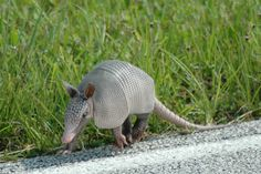 Dear armadillo, I know a lot of people hate you, but I have loved you since I was a little girl.
