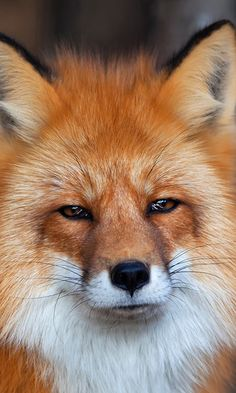 evrthquake: Red Fox | Olga Gladysheva