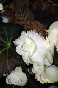 Nonstop Mocca White Begonia (Begonia 'Nonstop Mocca White') at Bachman's Landscaping