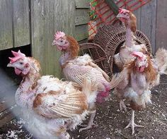 Sad ex-battery hens on their first day out the cages. Poor, sweet babies.