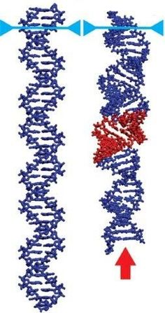 DNA scrunching could be new target for antiviral drugs http://www.sciencetotal.com/news/2016-06-dna-scrunching-could-be-new-target-for-antiviral-drugs/
