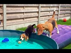 Louie and Marie my 2 beagles had a pool party today. Marie's first steps in the water are so cute and scary at the same time. Marie is a 10 week old cute pup...