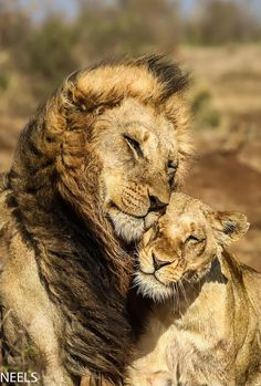 Lions are big proud hunters. Its not easy to conqier the heart of a lion but I thing if it's yours the it is love forever! Animals And Pets, Baby Animals, Funny Animals, Cute Animals, Lion Pictures, Animal Pictures, Beautiful Cats, Animals Beautiful, Romantic Animals