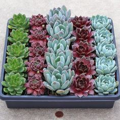 Rosette Succulent Tray - 2in Containers - Select Varieties (25) - Mountain Crest Gardens
