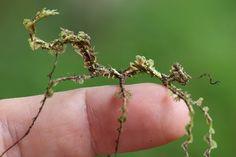 Moss mimic stick insect (Trychopeplus laciniatus)