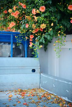 집 근처를 산책하며 담은 양반꽃, 능소화! Lost Love Spells, I Wallpaper, Watercolor Flowers, Vines, Bouquet, Drawings, Green, Nature, Pictures