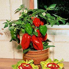 Kweek het hele jaar door paprika's en chili pepers binnen in huis. Alles over zaaien, planten, verzorging, bestuiving en oogsten. Inclusief tips voor de beste rassen om binnen te kweken.