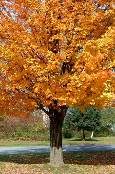 Sugar Maple Tree Mother Nature Pinterest Autumn Scenes Amazing Places And Wilderness