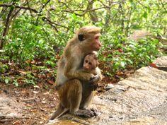 MACACO - Macaco de Sri Lanka- Toque_Macaques