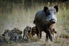 Stop the Mass Slaughter of Wild Pigs Animals And Pets, Baby Animals, Cute Animals, Reptiles, Mammals, Pigeon Breeds, Hog Hunting, Animal Agriculture, Baby Pigs