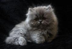 persian kitten More