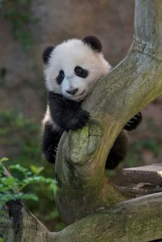 Our lovable giant panda, Xiao Liwu, turns 5 this weekend. Wu's younger years at the San Diego Zoo. Get the latest panda update on Zoonooz:. Niedlicher Panda, Cute Panda, Wild Panda, Beautiful Creatures, Animals Beautiful, Cute Baby Animals, Funny Animals, Wild Animals, Panda Mignon