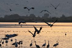 The months of November-December are when thousands of Common Cranes stop over at the Hula Lake in northern Israel on their migratory path from Europe and Asia (the heart of the breeding population for the species is in Russia) to its wintering sites in northern Africa, the river valleys of Sudan, Ethiopia, Tunisia and Eritrea. The best place to see and photograph them in Israel is the Agamon HaHula reserve.