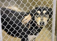 URGENT Rotti/Shep male 2-3 years old. Rope around his neck (They left it on him!) Kennel A4***$51 to adopt Located at Odessa, TX Animal Control FOSTERS OR ADOPTERS WELCOME! https://www.facebook.com/speakingupforthosewhocant/photos/a.573572332667009.1073741829.248355401855372/737443459613228/?type=1&theater