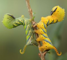 Anybody else see Chinese Dragons? Death's Head Moth Caterpillars - Aliens on Earth: macro photographs of insects by Igor Siwanowicz - Telegraph Cool Insects, Bugs And Insects, Macro Pictures, Cool Pictures, Amazing Photos, Photographie Macro Nature, Caterpillar Pictures, Reptiles, Lizards