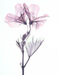 Jewels of Nature — Beyond Light Xray Flower, Flower Art, Watercolor Flowers, Watercolor Paintings, Transparent Flowers, Easy Canvas Art, Flower Wallpaper, Ink Art, Art Drawings