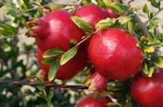 Pomegranates growing on a tree