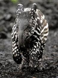 Afbeeldingsresultaat voor baby tapir