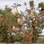 Trilobites: These Hungry Goats Learned to Branch Out -----------------------------   #news #buzzvero #events #lastminute #reuters #cnn #abcnews #bbc #foxnews #localnews #nationalnews #worldnews #новости #newspaper #noticias