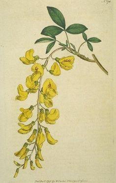 Common Laburnum