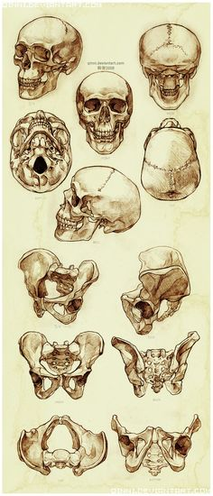 ☆ Skull and Pelvis Study :¦: By Artist Qing Han ☆