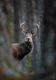 Fotos: British Wildlife Photography Awards 2012 - Ciervo entre pinos