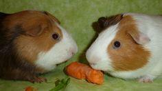 Cavy Gang Guinea Pigs