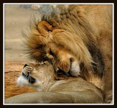 "herthen: "" Lions (by Eve'sNature) """