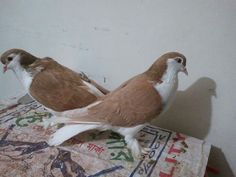 Lahore Pigeon, Cute Pigeon, Paws And Claws, Color Boards, Natural Baby, Astrology, Summertime, Funny Stuff, Dog Cat