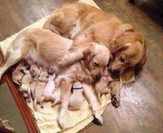 Golden Retriever Family, sweetest picture ever. Wish I got one of these when we had puppies :) Cute Puppies, Cute Dogs, Dogs And Puppies, Doggies, Baby Dogs, 15 Dogs, Newborn Puppies, Adorable Babies, Dachshunds