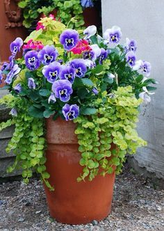Three elements of great container garden design. THRILL blue pansies with dark green leaves...FILL. The clay pot is full of plants... no empty spots. SPILL cascading light green plants spill over and down covering most of the terra cotta.