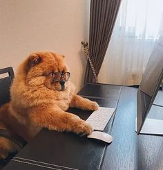 14 Cheerful Chow Chow Pictures Proving That Coronavirus Quarantine Can Be Spent With Positive | Page 2 of 3 | PetPress Chow Chow Dogs, The Big Boss, Funny Games, Program Design, Good Movies, Cheer, Positivity, Canning, Cats